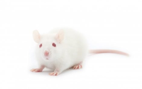 Supply of 'Ready-to-Test' Mice Being Made Available to Alzheimer's Researchers